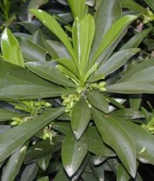 daphne_laureola_fruit_small